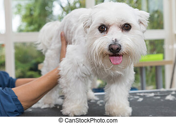 Grooming back of the Maltese dog