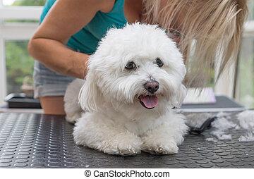 Grooming back of the white Bolognese dog. Horizontally.