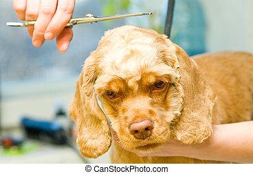 Grooming Cocker Spaniel dog