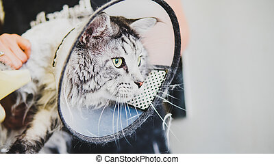 grooming domestic cats in the salon