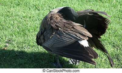 grooming goose - a Canada goose grooms itself on the grass