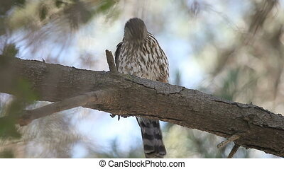 grooming hawk - a young sharp-shinned hawk cleans its...