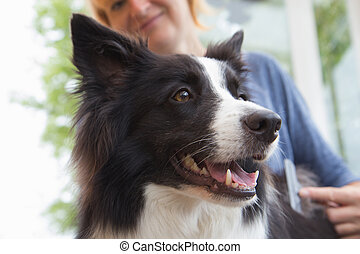 Grooming of Border Collie with stripping comb dog