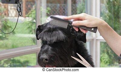 Grooming of Giant Schnauzer dog