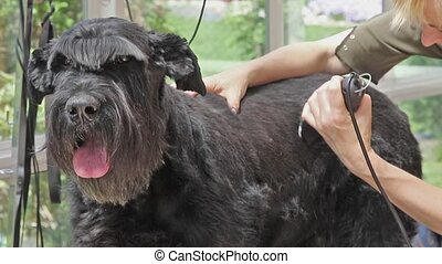 Grooming of the Giant Schnauzer dog by razor