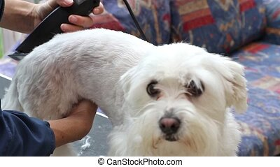 Grooming of white Maltese dog - The cute white Maltese dog...