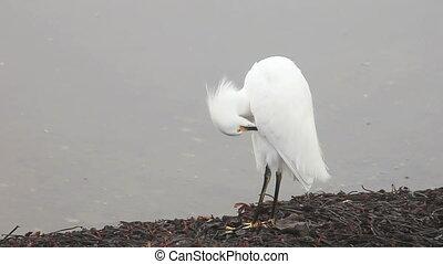 grooming snowy egret - a snowy egret grooms itself,...