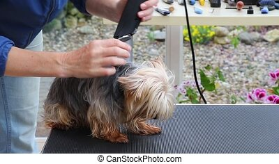 Grooming the dog by electric razor - Shortening the hair of...