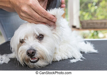 Grooming the ear of white Maltese dog by electric razor