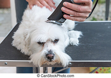 Grooming the head of white dog