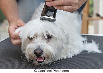 Grooming the head of white Maltese dog