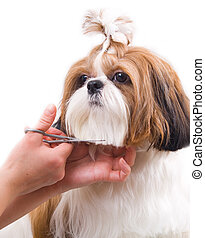 Grooming the Shih Tzu dog isolated on white