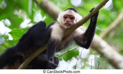 Grooming Wild White-faced Capuchin (Cebus capucinus) monkey...