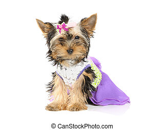 grooming - Yorkshire terrier in dress on the white