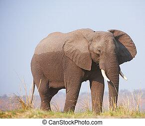 groot, afrikaanse olifant