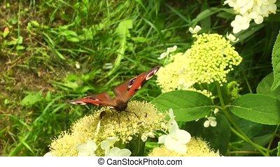 groot, black , vlinder, vorst, wandelingen, op, plant, met,...