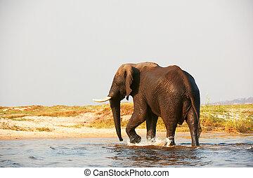 groot, elefant, afrikaan, stier