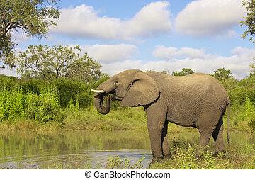 groot, elefant, stier