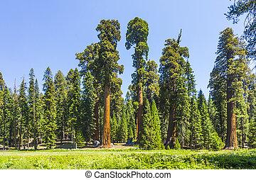 groot, en, groot, sequoias, in, mooi, het nationale park van...