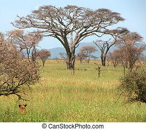 groot, leeuw, gras, afrikaan