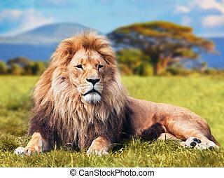 groot, leeuw, het liggen, op, savanne, gras