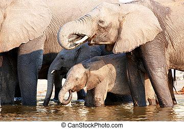 groot, olifanten, kudde, afrikaan