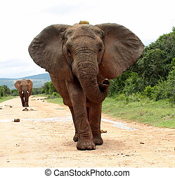 groot, oor, elefant, flaps, stier