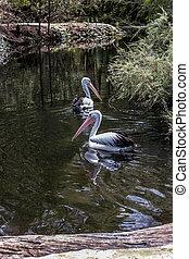 groot, pelicans, waterfowl, twee