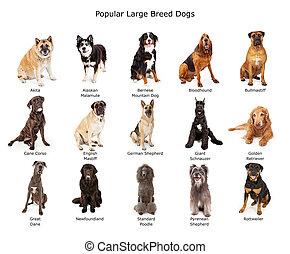groot, populair, ras, honden, verzameling