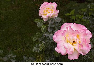 groot, roze, gele roos