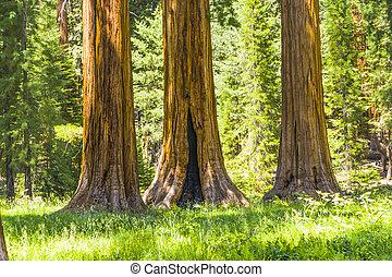 groot, sequoia, bomen, in, het nationale park van de sequoia