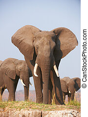 groot, stier olifants, kudde, afrikaan