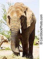 groot, wandelende, dierentuin, elefant