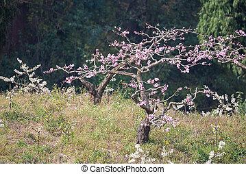 gros plan, arbre, fleur, pêche, chengdu