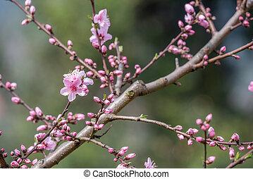 gros plan, arbre, fleurs, fleur, pêche, chengdu