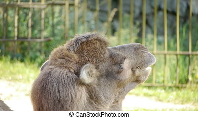 gros plan, camel.