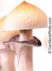 gros plan, champignon