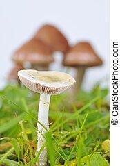 gros plan, champignon, unfocused, contre, mycètes, blanc