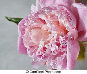 gros plan, de, eau, gouttelettes, sur, a, délicat, rose, pivoine, fleur, à, feuille verte, sur, a, gris, arrière-plan., vue dessus