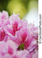 gros plan, dof, stamens., peu profond, azalée, floral, pistil, arrière-plan., flowers., foyer