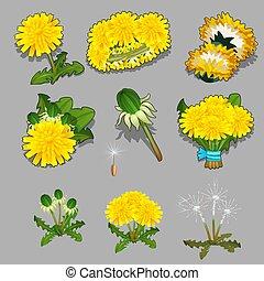 gros plan, ensemble, illustration., pissenlit, vie, isolé, gris, arrière-plan., vecteur, fleur, étapes, dessin animé
