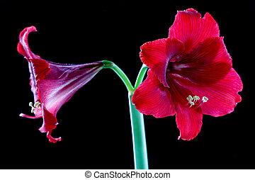gros plan, fleur, rouge noir, fond