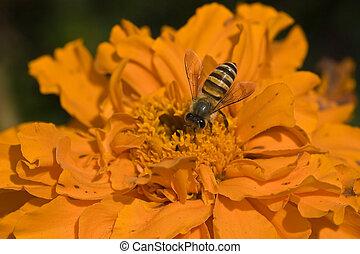 gros plan, fleur, souci, abeille