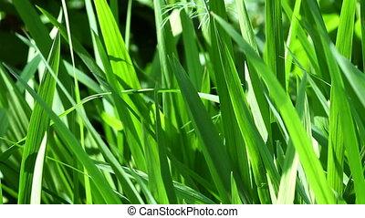 gros plan, herbe, jardin, vert