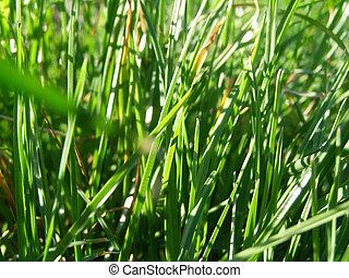 gros plan, herbe, vert