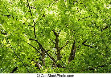 gros plan, jardin, arbre, anglaise, hêtre, (fagaceae)