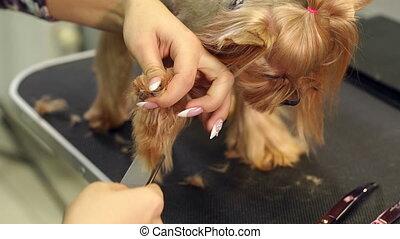 gros plan, lent, mo, yorkshire, cheveux, vétérinaire, terrier, peigner, pattes