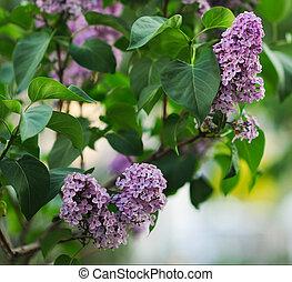 gros plan, lilas, fleurs, feuilles, beau