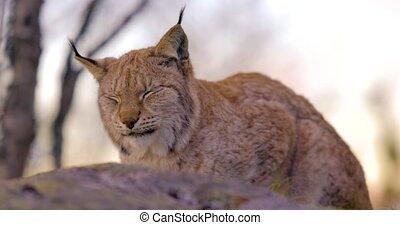 gros plan, lynx, regarder, rocher, forêt, proie, mensonge, ...