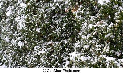 gros plan, -, neige, arbres, arrière-plan vert, thuja, tomber